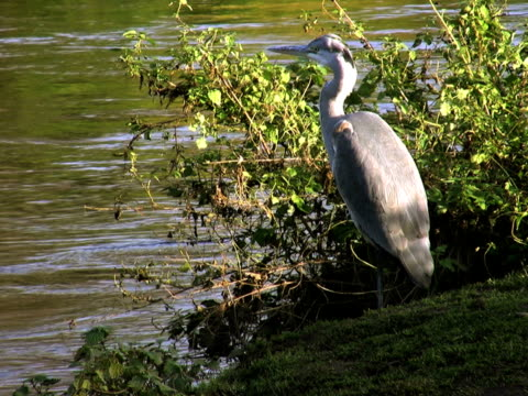 PAL: Heron Heron standing on a river. 笹 stock videos & royalty-free footage