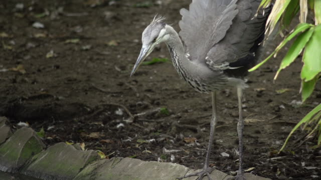 SLOW MOTION: Heron Slow motion shot of a Heron 笹 stock videos & royalty-free footage