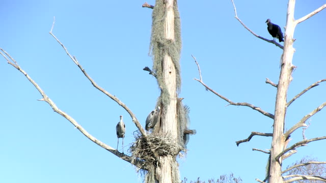 Herons nest with buzzards Vultures are flying around a blue herons nest. new world vulture stock videos & royalty-free footage