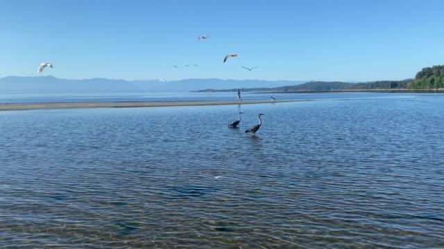 Herons wading along the Vancouver Island coast