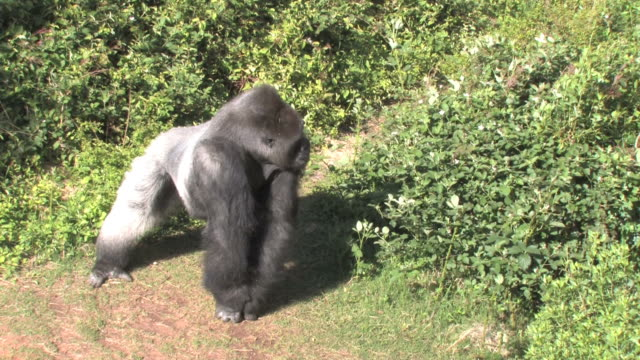 he's still a gorilla - gorilla stock videos and b-roll footage