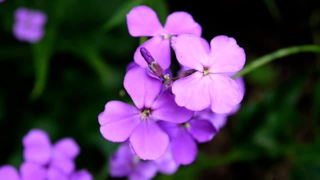 hesperis matronalis dame's rocket . purple flower close up - pistillo video stock e b–roll
