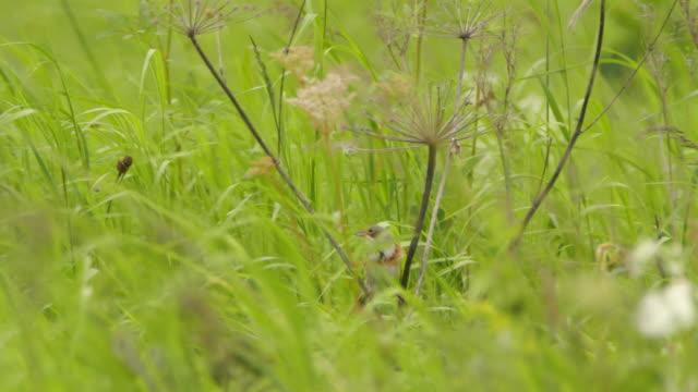 Сhestnut-eared bunting (Emberiza fucata) - Khingan nature reserve