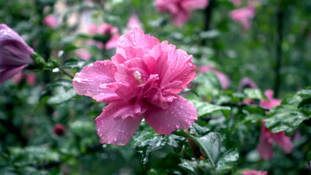 hibicus flower in rain day - stame video stock e b–roll