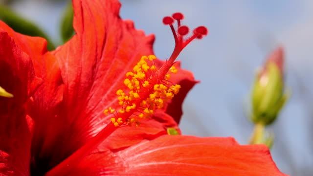 ハワイのハイビスカスの花 - ハワイ点の映像素材/bロール