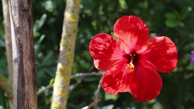 hibiscus flower - pistillo video stock e b–roll