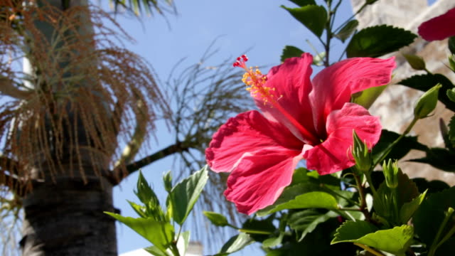 Hibiscus Flower video