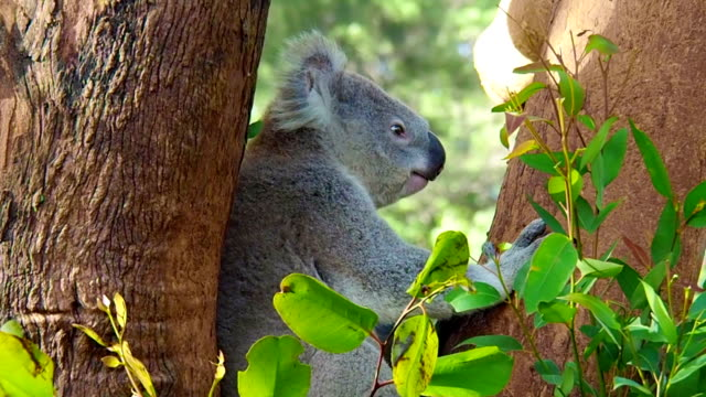 Hiccupping Koala While Chewing Leaf In Slow Motion video