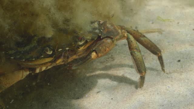 versteckte crab - ostsee stock-videos und b-roll-filmmaterial