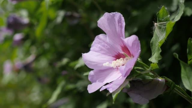 stockvideo's en b-roll-footage met verborgen in de struik licht roze hibiscus syriacus bloem bud 4k 2160p 30fps ultrahd footage - gemeenschappelijk roos plant tak sharon malvaceae 3840 x 2160 uhd video - hortensia