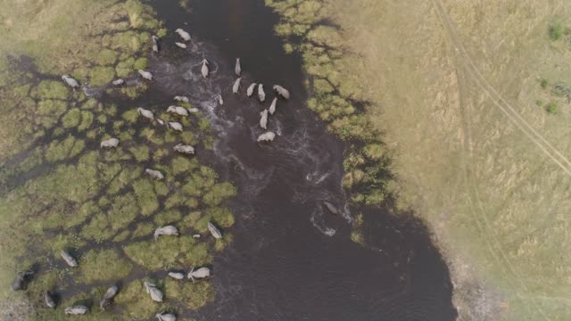 High aerial straight down view of a breeding herd of elephants drinking and crossing a river in the Okavango Delta, Botswana High aerial straight down view of a breeding herd of elephants drinking and crossing a river in the Okavango Delta, Botswana botswana stock videos & royalty-free footage