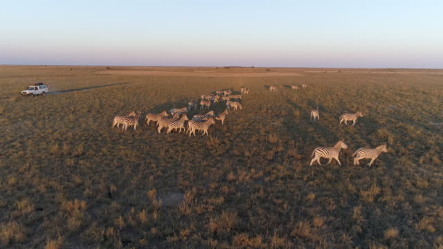 High aerial view of a 4x4 tourist safari vehicle driving through the grasslands in Botswana High aerial view of a 4x4 tourist safari vehicle driving through the Makgadikgadi grasslands, Botswana,looking at the zebra migration botswana stock videos & royalty-free footage