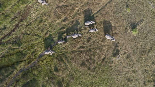 High aerial view of a breeding herd of elephants walking in the marshy grasslands of the Okavango Delta, Botswana High aerial view of a breeding herd of elephants walking in the marshy grasslands of the Okavango Delta, Botswana botswana stock videos & royalty-free footage