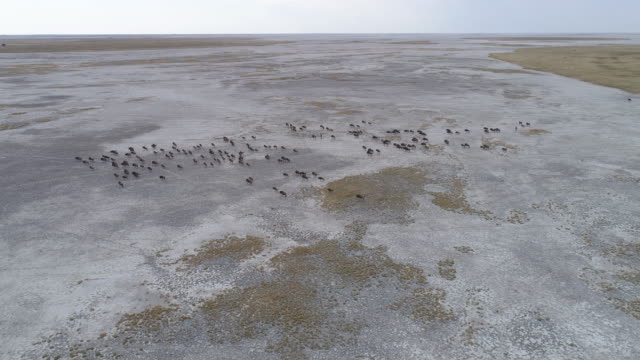 High aerial view of a group of wildebeest running across the vast Makgadikgadi Pans High aerial view of a group of wildebeest running across the vast Makgadikgadi Pans, Botswana botswana stock videos & royalty-free footage