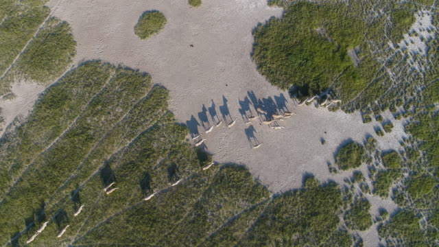 4K high aerial view of a herd of migrating zebra using old animal tracks to a water hole in the Makgadikgadi pans, Botswana 4K high aerial view of a herd of migrating zebra using old animal tracks to a water hole in the Makgadikgadi pans, Botswana botswana stock videos & royalty-free footage