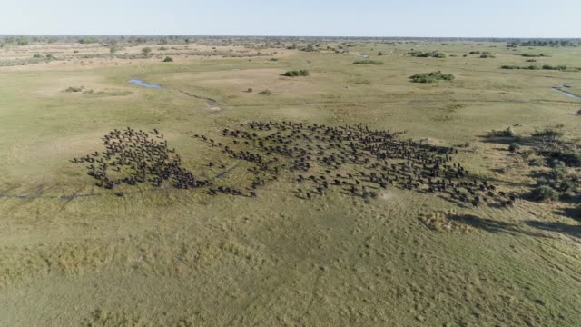 High aerial view of a large herd of Cape buffalo running away from the camera in the Okavango Delta, Botswana video
