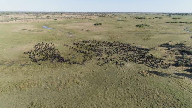 vídeos de stock, filmes e b-roll de alta vista aérea de um grande rebanho de búfalo fugindo da câmera no delta do okavango, botswana - manada