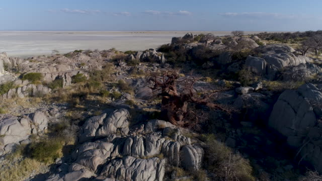 High aerial zoom out view of a baobab on Kubu island High aerial zoom out view of a baobab on Kubu island, Makgadikgadi Pans ,Botswana makgadikgadi pans national park stock videos & royalty-free footage