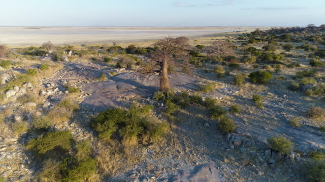 High aerial zoom out view of a baobab on Kubu island High aerial zoom out view of a baobab on Kubu island, Makgadikgadi Pans ,Botswana salt flat stock videos & royalty-free footage