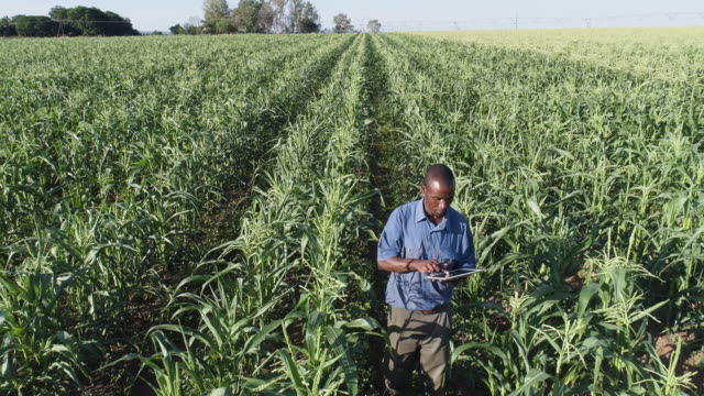 4K high aerial zoom out view of a black african farmer using a digital tablet and monitoring a corn crop on large scale vegetable farm