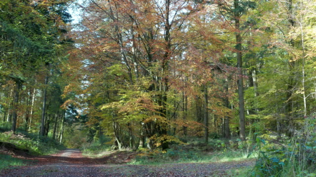 High angle view of autumn leaf colours on trees in an area of woodland in south west Scotland. video