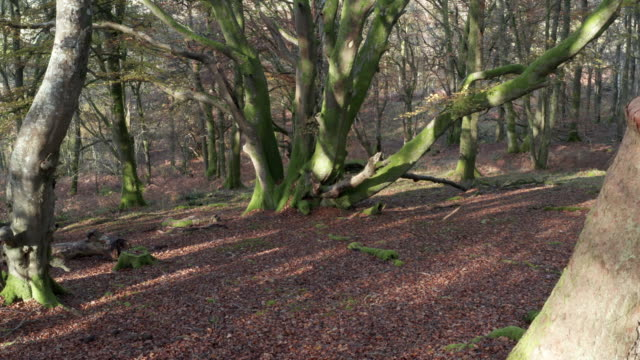 High angle view of deciduous woodland with the ground covered in beech nuts and wilted leaves video