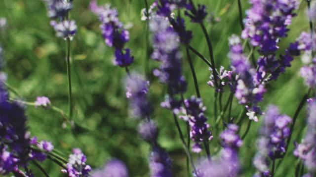 vídeos de stock e filmes b-roll de high angle view of fresh lavender flowers on field - lavanda planta