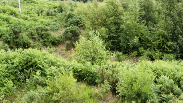 High angle view of young fir trees in an area of forest in south west Scotland Lush green undergrowth and small trees in an area of woodland in Dumfries and Galloway, south west Scotland. The 4K footage was captured by a drone flying in a circle. galloway scotland stock videos & royalty-free footage
