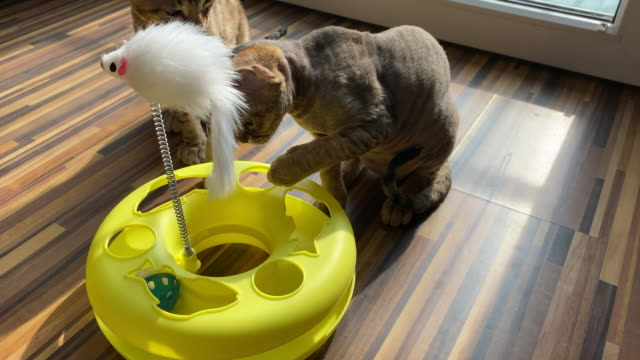High Angle View on Devon Rex Kittens in an Apartment video