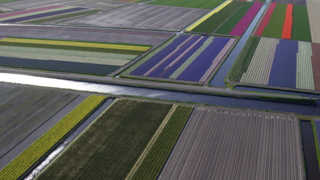 High angle view on tulips in flower field video
