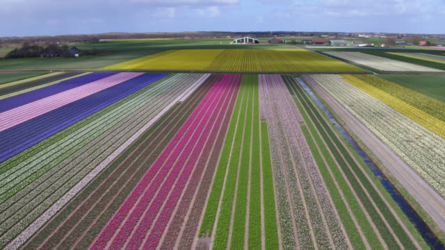 High angle view on tulips in flower field
