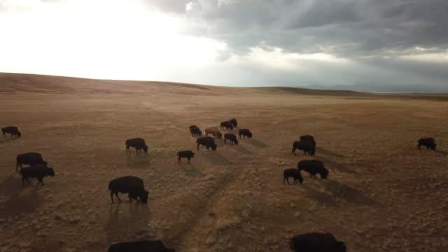 yüksek ülke buffalo - sığırlar stok videoları ve detay görüntü çekimi