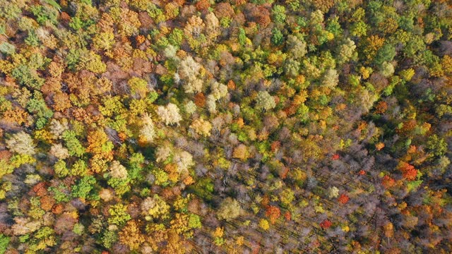 High flying quadcopter over the tops of colorful trees in the autumn forest