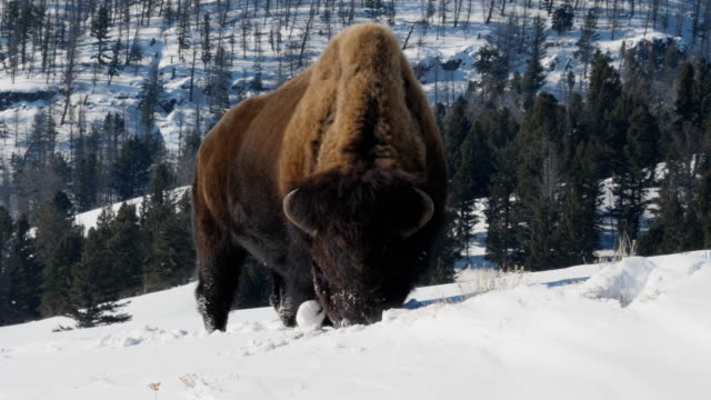 high frame rate tracking clip of a bison walking in snow at yellowstone