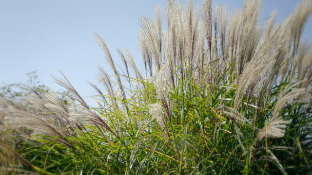 High grass in wind. Side shot at sunset. Natural background with dreamy atmosphere. video