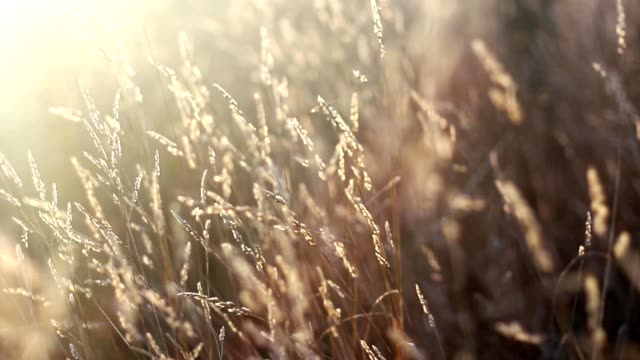 High Grass Shallow Depth of Field Steadicam at Sunrise video