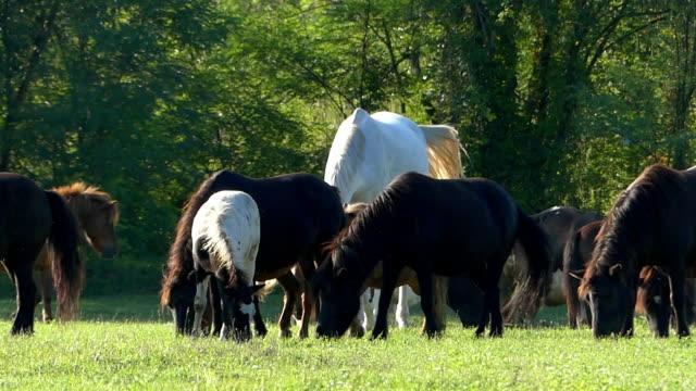 einem hohen roß und viele pony pferde grasen auf einer wiese - hengst stock-videos und b-roll-filmmaterial