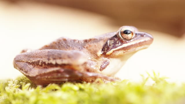 High key shot of a woodland frog sitting idle on moss Fauna found in the Black Forest of Germany amphibian stock videos & royalty-free footage