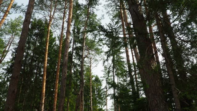 High pine trees High pine trees close-up view. Vertical panning pine tree stock videos & royalty-free footage