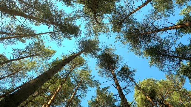 High pines trees in forest on wind at beautiful day. Trees and blue sky.
