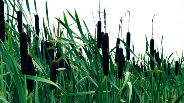 高リードを踏み外した風。 - 湿地草点の映像素材/bロール