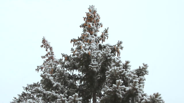 High spruce with cones under the snowfall on a winter day video