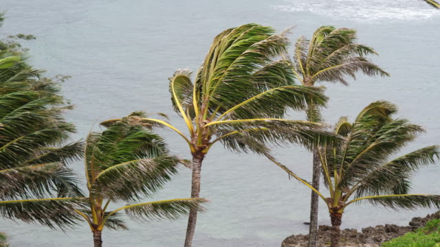 high winds blow palm trees - inarcare la schiena video stock e b–roll