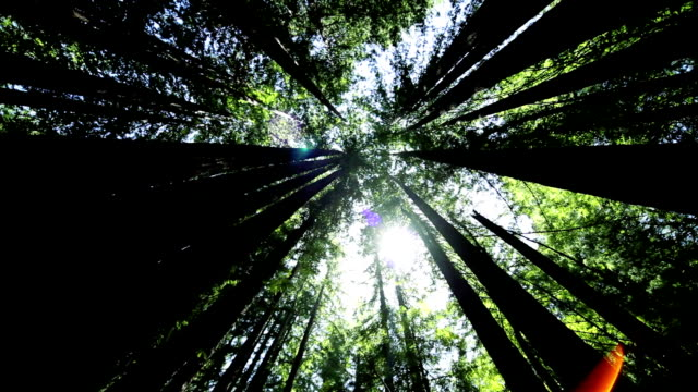 High-angle View Through Giant Redwood Trees