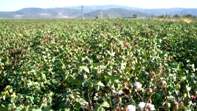 bomull av högsta kvalitet är redo att skörda fält - cotton growing bildbanksvideor och videomaterial från bakom kulisserna