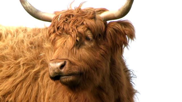 Highland cattle Scottish hairy highland cattle scotland stock videos & royalty-free footage