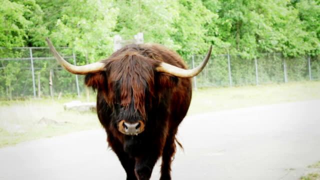 BANG !!! - highland cow charging and hit the camera video
