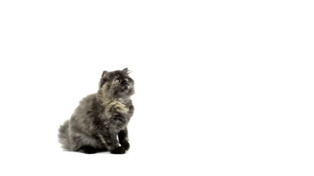 Highland fold kitten sitting, meowing and walking Highland fold kitten sitting, meowing and walking kitten stock videos & royalty-free footage
