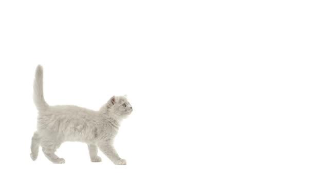 stockvideo's en b-roll-footage met highland fold kitten walking and looking up - kitten
