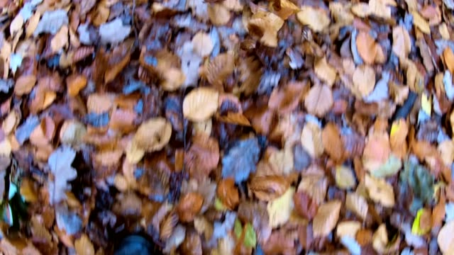 Hiking through the deciduous forest, Beech leaves in autumn, forest, autumn, indian summer, Spessart, bavaria, 4K video